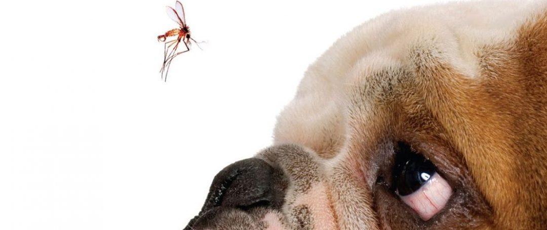 Verme do Coração: a Dirofilariose Canina