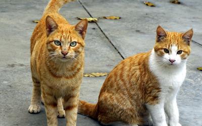 FIV (Vírus da Imunodeficiência felina)