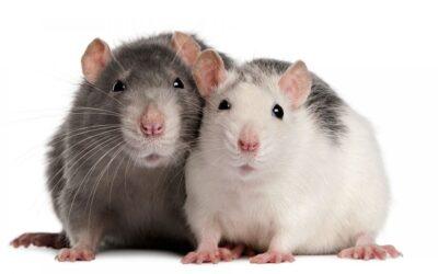 Rato Twister: Curiosidades!