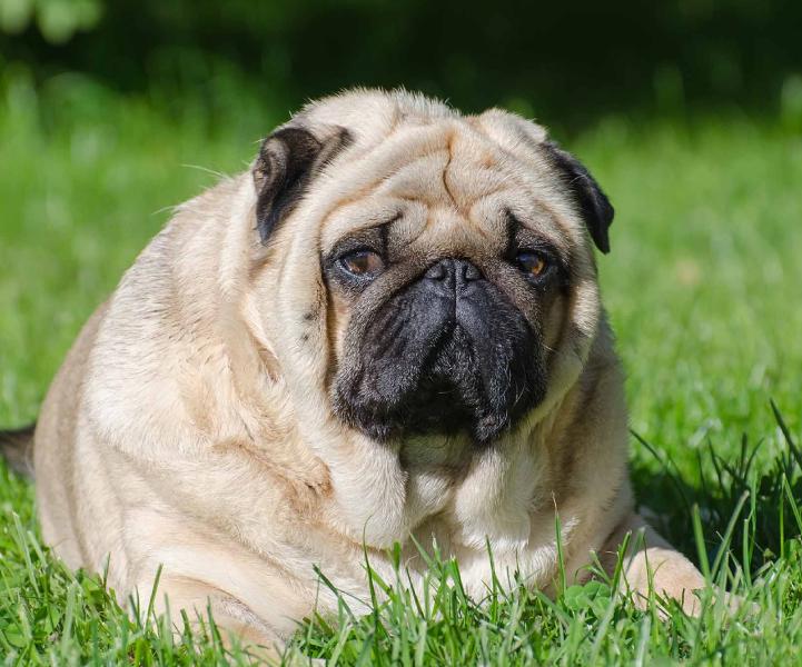 Campanha Contra Obesidade em Cães